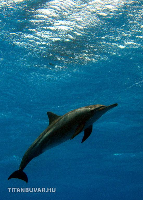 Delfin a vörös-tengeren