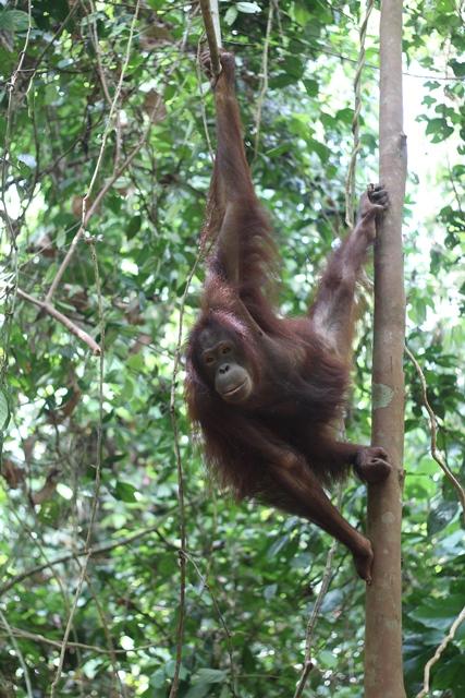 Sepilok-Orangutan-farm-malajzia-buvar-buvartura-sipadan-nyaralas-borneo