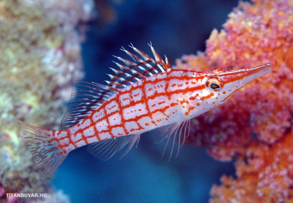 korallőr hal, szudán, búvártúra, búvárszafari